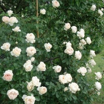 Trandafir urcator, cu flori de culoare alb, Mon Jardin et Ma Maison,  Meilland