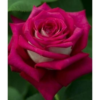 Trandafir cu flori mari, de culoare roz inchis, Monica Bellucci, Meilland