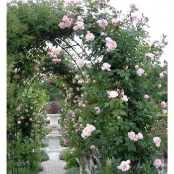 Trandafir urcator, cu flori de culoare roz, Nahema, Delbard