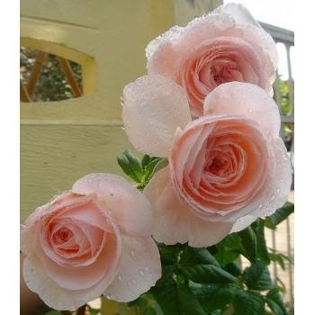 Trandafir urcator, cu flori de culoare roz, Nahema, Delbard #2