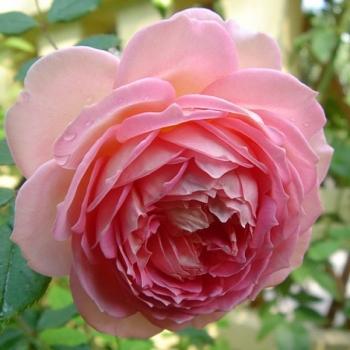 Trandafir urcator, cu flori de culoare roz, Nahema, Delbard #3