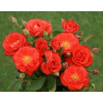 Trandafir cu flori grupate, de culoare portocaliu, Orange Sensation, Meilland #2