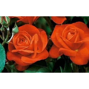 Trandafir cu flori grupate, de culoare portocaliu, Orange Sensation, Meilland