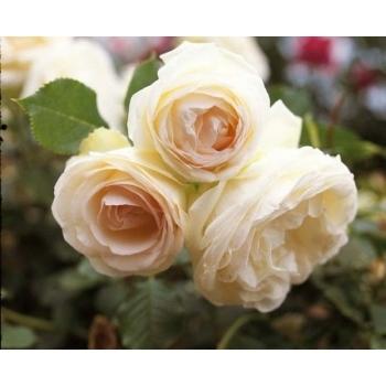 Trandafir urcator, cu flori de culoare alba, Palais Royal, Meilland #3