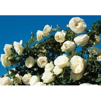 Trandafir urcator, cu flori de culoare alba, Palais Royal, Meilland