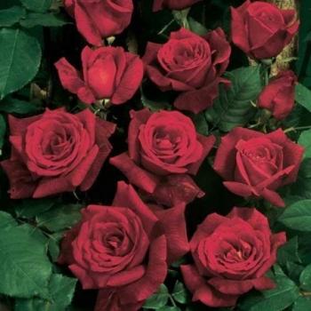 Trandafir urcator, cu flori de culoare rosu, Papa Meilland, Meilland #3