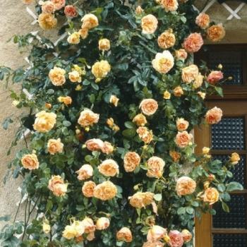 Trandafir urcator, cu flori de culoare roz-portocaliu, Papi Delbard, Delbard