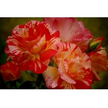 Trandafir cu flori mari, in nuante pastelate de galben cu  portocaliu, Paul Gauguin, Delbard #2