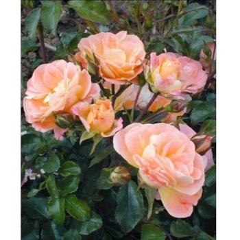 Trandafir peisaj, cu flori in nuante de roz cu galben, Peach Drift, Meilland #2