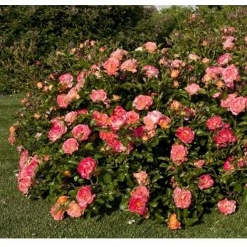 Trandafir peisaj, cu flori in nuante de roz cu galben, Peach Drift, Meilland