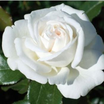 Trandafir cu flori mari, de culoare alba, Pierre Arditi, Meilland