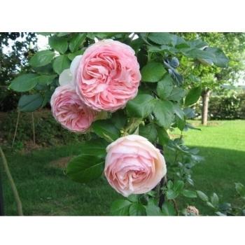 Trandafir urcator, cu flori de culoare roz delicat, Pierre de Ronsard (Eden Rose), Meilland #2