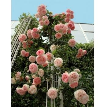 Trandafir urcator, cu flori de culoare roz delicat, Pierre de Ronsard (Eden Rose), Meilland