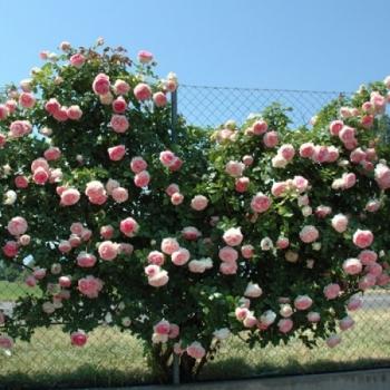 Trandafir urcator, cu flori de culoare roz delicat, Pierre de Ronsard (Eden Rose), Meilland #4