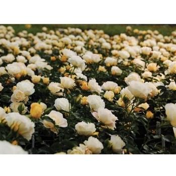 Trandafir peisaj, cu flori de culoare crem-alb, Popcorn Drift, Meilland