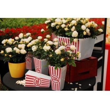 Trandafir peisaj, cu flori de culoare crem-alb, Popcorn Drift, Meilland #2