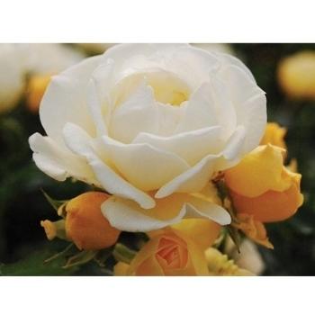 Trandafir peisaj, cu flori de culoare crem-alb, Popcorn Drift, Meilland #3