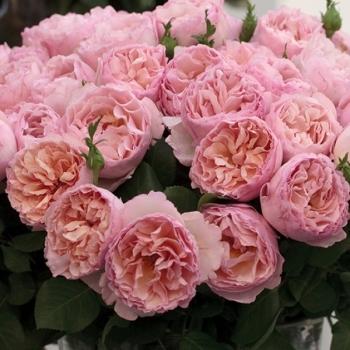 Trandafir cu flori mari, de culoare roz deschis, Princesse Charlene de Monaco, Meilland