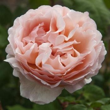 Trandafir cu flori mari, de culoare roz deschis, Princesse Charlene de Monaco, Meilland #2