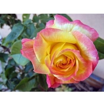 Trandafir cu flori mari, de culoare galben cu roz, Pullman Orient Express, Meilland #2