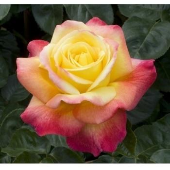 Trandafir cu flori mari, de culoare galben cu roz, Pullman Orient Express, Meilland #3