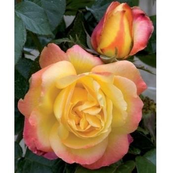 Trandafir cu flori mari, de culoare galben cu roz, Pullman Orient Express, Meilland