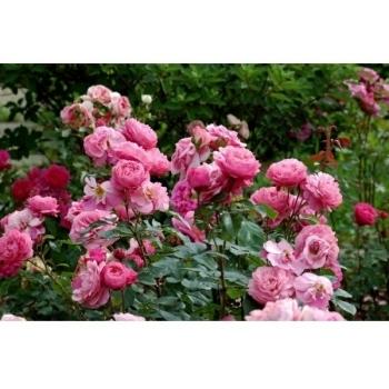 Trandafir cu flori mari, de culoare roz aprins, Raymond Blanc, Delbard #2