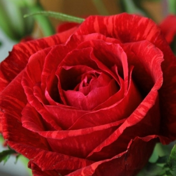 Trandafir cu flori mari, de culoare rosu aprins, Red Intuition, Delbard
