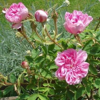 Trandafir pentru dulceata, cu flori de culoare  roz, Rosa Damascena, Famous Roses #2