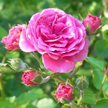Trandafir pentru dulceata, cu flori de culoare  roz, Rosa Damascena, Famous Roses #3