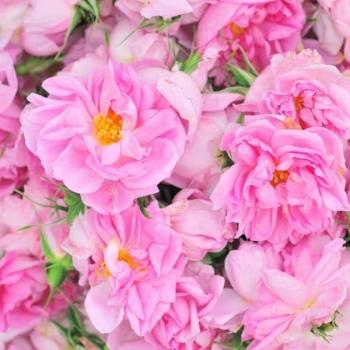 Trandafir pentru dulceata, cu flori de culoare  roz, Rosa Damascena, Famous Roses