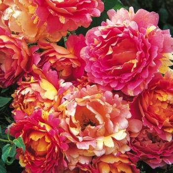 Trandafir cu flori mari, in nuante de roz cu galben, Rose des Cisterciens,  Delbard #2