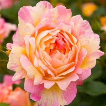 Trandafir cu flori mari, in nuante de roz cu galben, Rose des Cisterciens,  Delbard