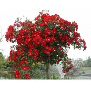 Trandafir urcator, cu flori de culoare rosu, Rouge Meillandecor, Meilland