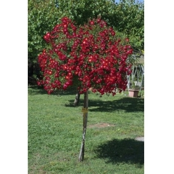 Trandafir urcator, cu flori de culoare rosu, Rouge Meillandecor, Meilland #2