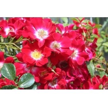 Trandafir urcator, cu flori de culoare rosu, Rouge Meillandecor, Meilland #3