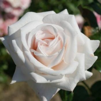 Trandafir cu flori mari, de culoare alb-roz, Royal Copenhagen, Poulsen #2