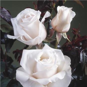 Trandafir cu flori mari, de culoare alb-roz, Royal Copenhagen, Poulsen