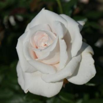 Trandafir cu flori mari, de culoare alb-roz, Royal Copenhagen, Poulsen #3