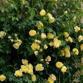 Trandafir urcator, cu flori de culoare galben, Soleil Vertical, Delbard #2
