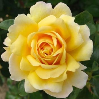 Trandafir urcator, cu flori de culoare galben, Soleil Vertical, Delbard #3