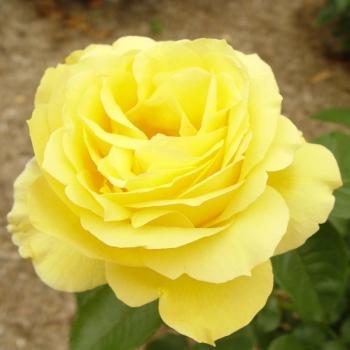 Trandafir cu flori grupate, de culoare galben intens,  Souvenir de Marcel Proust, Delbard #2