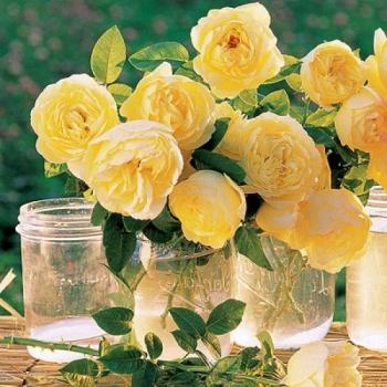 Trandafir cu flori grupate, de culoare galben intens,  Souvenir de Marcel Proust, Delbard #3