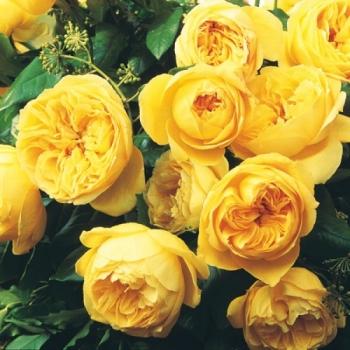 Trandafir cu flori grupate, de culoare galben intens,  Souvenir de Marcel Proust, Delbard