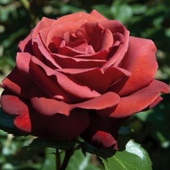 Trandafir cu flori mari, in nuante caramizii, Terracotta, Meilland