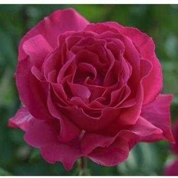 Trandafir cu flori mari, de culoare roz- fucsia,  Velasquez, Meilland #2
