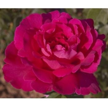 Trandafir cu flori mari, de culoare roz- fucsia,  Velasquez, Meilland