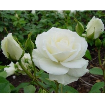 Trandafir pomisor, cu flori de culoare alba, White Symphonia, FamousRoses #2