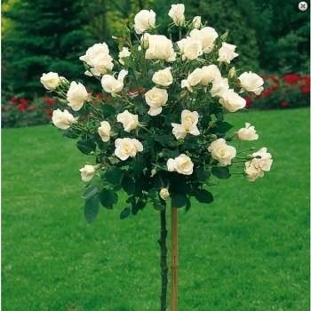 Trandafir pomisor, cu flori de culoare alba, White Symphonia, FamousRoses