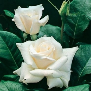 Trandafir pomisor, cu flori de culoare alba, White Symphonia, FamousRoses #3